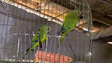 Comércio de animais silvestres movimenta milhões em um mercado lucrativo e criminoso - Reportagem mostra flagrantes registrados pelo interior; veja.