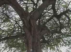 Árvore antiga traz riscos a moradores em praça de Caruaru - Planta está situada no canteiro central da Praça Euclides Queiroz, no Bairro Riachão.