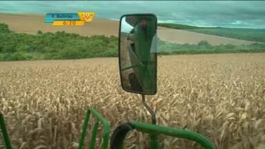 Agricultores colhem primeira safra de milho em Guarapuava, no Paraná - Com as chuvas na região de Guarapuava, as plantações de milho já estão começando a serem colhidas pelos agricultores. A colheita deve ser boa, mesmo com o preço baixo da saca.