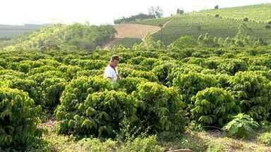 Agricultor do ES economiza água inovando em espaçamento de plantação de café - Segundo cafeicultor o tempo de irrigação caiu e a qualidade foi mantida.