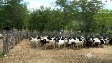 Agricultores apostam na criação de cabras e ovelhas em Betânia do Piauí - Agricultores apostam na criação de cabras e ovelhas em Betânia do Piauí
