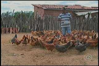 Agricultores de Petrolina recebem capacitação sobre a convivência com o Semiárido - Uma delas é a criação de galinhas caipiras. A medida tem garantido o sustento de muitas famílias.