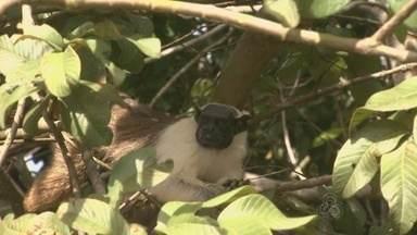 Campanha é lançada para promover preservação de sauins-de-coleira em Manaus - Animal está na lista de animais ameaçados de extinção.