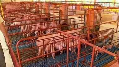 Matriz de leitoa deve ter entre 12 e 14 tetos saudáveis - Na criação de porcos de Ricardo Ceconello, de Sorocaba, algumas leitoas estão sem bico nas tetas e não conseguem amamentar direito.