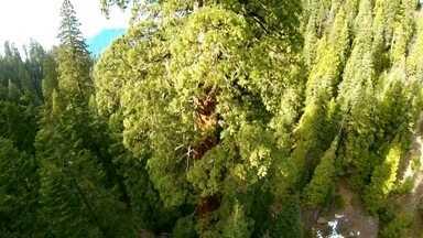 Carol Barcellos encara o medo de altura para escalar árvores gigantes e centenárias - Repórter ajudou pesquisadores em escalada para coletar material genético das sequóias.