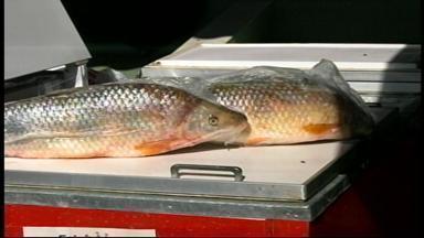 Feira do peixe começa em Uruguaiana, RS, nesta quarta-feira (1º) - A oferta diminiu por conta da pesca difícil na região.