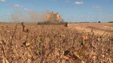 Lavouras de ciclos precoce estão prontas para colheita e não apresentam problemas - Assista ao vídeo.