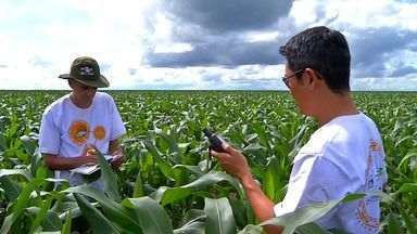 Circuito Tecnológico percorre lavouras de milho em Mato Grosso - Técnicos e pesquisadores querem saber como está a qualidade das lavouras de milho no estado.