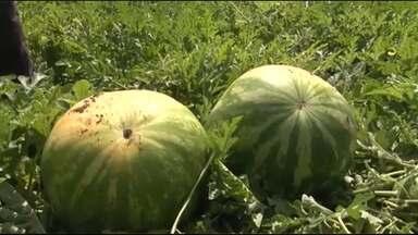 Produtores de Teixeira de Freitas esperam safra recorde de melancia - Eles esperam colher este ano 70 toneladas do fruto por hectare.
