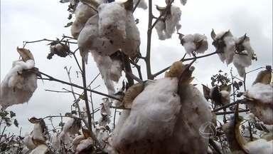 Com valorização do dólar, cooperativa espera manter bom desempenho do algodão - MS é um dos estados com o algodão de melhor qualidade no país. A região não investe muito na cultura, mas produtores estão satisfeitos com os resultados