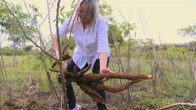 Projeto busca resgatar cultivares de mandioca com mais de 10 anos - A intenção é pesquisar plantas e propor melhora na produtividade.