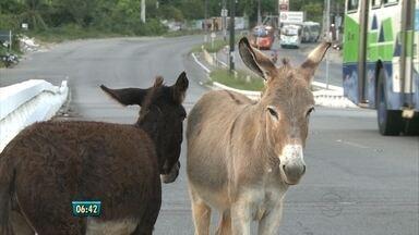 Cavalo e dois burros são flagrados soltos na PE-15 - Como o trânsito no início da manhã ainda era fraco, eles não tiveram dificuldades de andar pela rodovia.