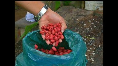 'Bom dia Rural' mostra cultivo do amendoim em Santarém - Produtora decidiu investir no plantio e já está gerando lucros na região.