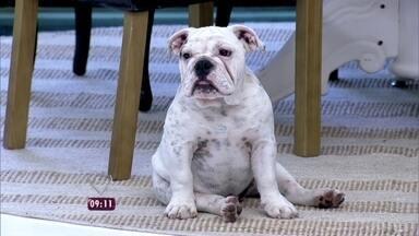Ana Maria Braga apresenta novo xodó do Mais Você: a cachorrinha Tapioca - Ela é da raça buldogue inglês e tem apenas 4 meses