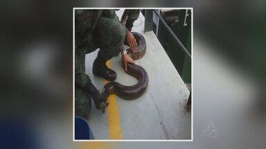 Populares encontram sucuri de 3m em rua da Zona Oeste de Manaus - Cobra foi achada na rua Carauari, localizada no bairro Redenção.Animal foi reintroduzido à natureza em área isolada do Tarumã.