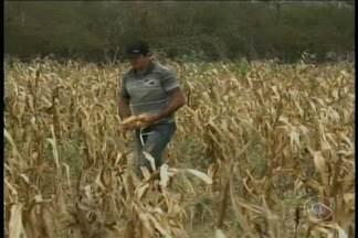 Agricultores da zona rural de Petrolina contabilizam os prejuízos da safra de milho. - Quem depende da chuva para produzir, infelizmente, não colheu boas espigas este ano.