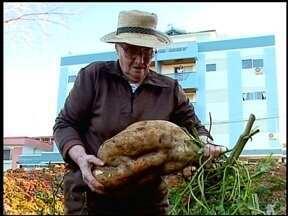 Batata Doce de 10kg é colhida em horta de Erechim, RS - Dona Lurdes se surpreendeu com a batata gigante colhida na horta de casa.