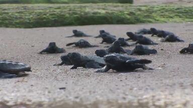 Projeto Tamar protege as tartarugas marinhas no Brasil - A iniciativa cuida dos animais há 35 anos e cria empregos para moradores de comunidades próximas as sedes do projeto