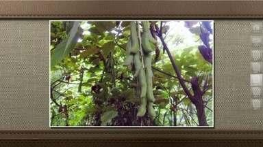 Planta do feijão-mucuna é usada como adubo verde - A mucuna não é comestível. Ele parece como os feijões normais, mas é importante na agricultura quando usada como adubo verde, porque tem a capacidade de melhorar a fertilidade do solo.