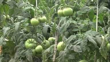Agrônomo explica como manter plantação de tomate com água salobra - Uma amostra da água deve ser levada a um laboratório para ser analisada. A cultura do tomate tolera até uma certa medida de sais dissolvidos na água.