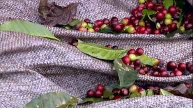 Café plantado nas montanhas de MG garante qualidade do grão e renda extra - Colheita em áreas montanhosas exige habilidade para evitar a perda da produção.