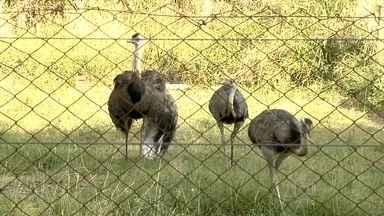 Polícia investiga casos de ataques a animais no zoológico de Araçatuba - Uma ema morreu e uma anta ficou ferida no zoológico no interior do estado.