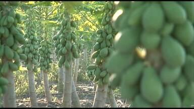 Confira a previsão do tempo para o extremo Sul da Bahia - Baixas temperaturas do inverno afetam produção de mamão da região, que é a maior produtora do fruto do país.