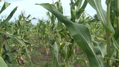 Chuvas favorece plantações na região de Feira de Santana - Terra molhada trouxe a melhor safra de milho dos últimos cinco anos.