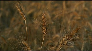 Produtores investem na produção de trigo em Rio Verde - Plantio ainda não é muito comum no estado por causa do clima. Entretanto, alguns agricultores decidiram arriscar o cultivo durante a safrinha.