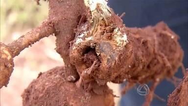 Agricultores enfrentam problemas para comercialização da mandioca em MS - Além do preço baixo pago pela raiz, as fecularias reduziram a capacidade de recebimento