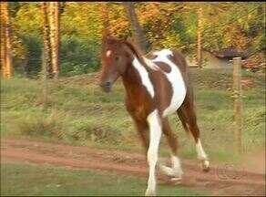 Criador de cavalos trabalha com raça considerada elite do mercado - Criador de cavalos trabalha com raça considerada elite do mercado