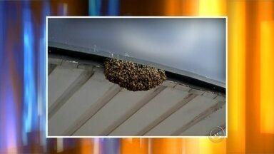 Enxame de abelhas assusta pedestres e lojistas no centro de Tupã - Um enxame de abelhas assustou pedestres e lojistas e parou o centro de Tupã. As abelhas se instalaram na marquise de uma loja, em uma das esquinas movimentadas do centro. O Corpo de Bombeiros isolou a área e um apicultor foi chamado para retirar as abelhas do local. Apesar do susto, ninguém foi picado pelos insetos.