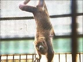 Filhote de macaco da espécie bugio nasce em Ipatinga - Espécie não é comum em cativeiro.