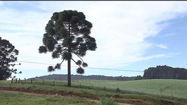 Saiba como cultivar e ganhar dinheiro preservando a Araucária - Apesar de ser um espécie que representa o Paraná, dos 399 municípios apenas 180 têm Araucárias. Nos Campos Gerais há uma árvore da espécie com mais de 800 anos.