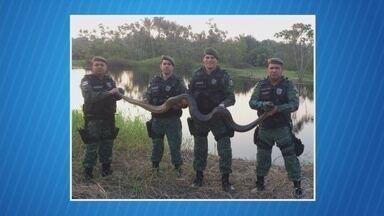 Sucuri e gavião são resgatados em Manaus - Cobra de 3 metros estava em um igarapé no bairro da União. Já a ave foi resgatada após ser comercializada ilegalmente.