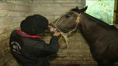 Cabanhas aumentam cuidados para evitar a transmissão do mormo - Em Vacaria, RS, o desfile farroupilha não vai ter cavalarianos