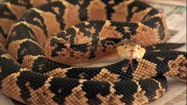 Médico mantém na BA criatório da maior cobra venenosa das Américas - O primeiro criatório particular do Brasil abriga 34 surucucus pico-de-jaca.