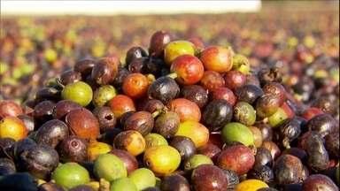 Seca prejudica qualidade do café arábica e produção deve ser menor - Cafeicultores se apressam para terminar a colheita em Minas Gerais. A colheita no cerrado mineiro costuma terminar no início de agosto, mas nesta safra deve seguir em setembro.