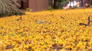 Chuva muda a paisagem da cidade - Flores viram tapetes nas calçadas