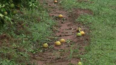 Temporal prejudica plantações de laranja em Nova Esperança - Além dos estragos na cidade, a chuva de granizo também trouxe prejuízo no campo.