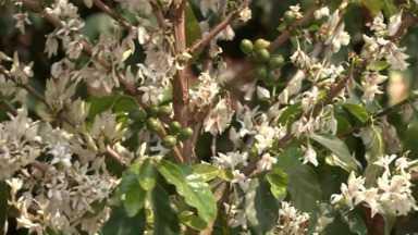Florada anuncia boa safra do café no Paraná - A previsão para a próxima safra é colher o dobro de café do que este ano. Os produtores estão otimistas por causa da florada.