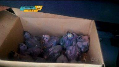 Polícia apreende 35 filhotes de aves silvestres - A Polícia Rodoviária Federal (PRF) prendeu no domingo (4) um homem que transportava 35 filhotes de aves silvestres em Alto Paraíso, no noroeste do Paraná.