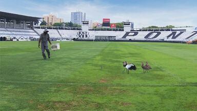 Quero-quero e o guardião Pelé - No estádio Moisés Lucarelli, em Campinas (SP), aves encontram em Pelé um protetor mesmo em dia de jogos.