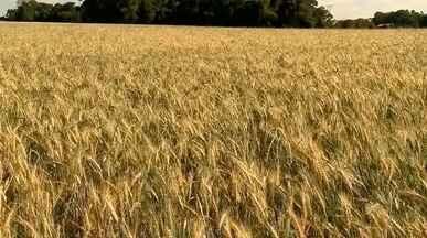 Produtores da região Noroeste reduzem área plantada de trigo - Assista ao vídeo.
