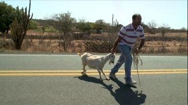 Cabras e bodes ameaçam a segurança em estrada de Pernambuco - Pequenos criadores de cabras do sertão pernambucano estão preocupados com a apreensão dos animais que são criados soltos.