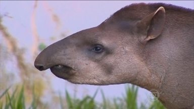 Pesquisadores tentam preservar a anta do risco de extinção - O mamífero gigante, de 1,20 m de altura, habita as matas brasileiras e é ameaçado pelo convívio com o homem.