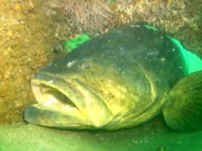 Ilha do Mel e mergulho com Mero - Blocos de concreto ajudam a resgatar a vida marinha devastada por décadas de exploração, e uma das espécies que estão sendo preservadas por esses recifes é o mero, um peixe gigante que pode ter mais de 2,5 metros e que quase sumiu do litoral do país.