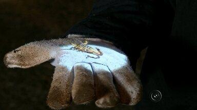 Moradores temem infestação de escorpiões no noroeste paulista - Moradores de várias cidades da região noroeste paulista estão preocupados com o aparecimento de escorpiões, principalmente depois da morte de um menino de 4 anos, que foi picado por um escorpião na noite de segunda-feira (2), em Ibirá (SP).