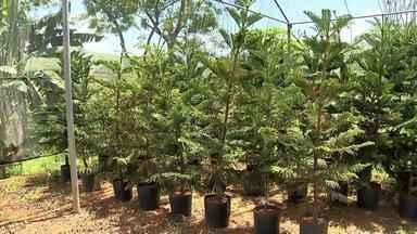 Cresce número de vendas e produção de pinheiros em Dona Euzébia - Cidade é conhecida pela produtividade da planta na região da Zona da Mata. Plantação de árvores natalinas é especialidade da maioria dos produtores rurais da cidade.