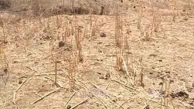 Produtores rurais sofrem com perdas na colheita e esperam ajuda do Garantia Safra - Produtores rurais sofrem com perda na colheita e esperam ajuda do Garantia Safra